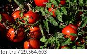 Купить «Ripe red tomatoes are grown in the ground», видеоролик № 29564603, снято 25 августа 2018 г. (c) Володина Ольга / Фотобанк Лори