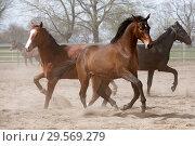 Купить «Stuet Graditz, horses trotting on a sand paddock», фото № 29569279, снято 15 апреля 2018 г. (c) Caro Photoagency / Фотобанк Лори
