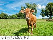 Купить «Коричневая корова на лугу в солнечный день летом», фото № 29573843, снято 5 августа 2018 г. (c) Екатерина Овсянникова / Фотобанк Лори