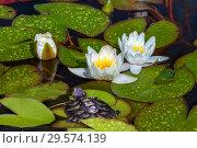 Купить «Черепаха рядом с цветами водяной лилии в пруду», фото № 29574139, снято 11 июля 2018 г. (c) Татьяна Белова / Фотобанк Лори