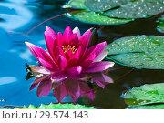 Купить «Розовая водяная лилия (nymphaea) в пруду», фото № 29574143, снято 2 апреля 2012 г. (c) Татьяна Белова / Фотобанк Лори