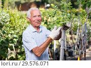 Купить «Gardener checking trees branches», фото № 29576071, снято 13 июня 2018 г. (c) Яков Филимонов / Фотобанк Лори