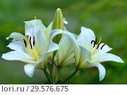 Купить «Цветы белой лилии на размытом зеленом фоне», фото № 29576675, снято 27 июля 2011 г. (c) Татьяна Белова / Фотобанк Лори