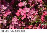 Купить «Цветение декоративной яблони», эксклюзивное фото № 29586383, снято 21 мая 2015 г. (c) lana1501 / Фотобанк Лори