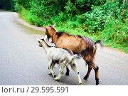 Купить «Two goats roam the street in the village in the summer», фото № 29595591, снято 12 августа 2018 г. (c) Алексей Маринченко / Фотобанк Лори