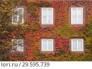Купить «Увитый осенним плющем фасад красного кирпичного дома в Германии», фото № 29595739, снято 7 ноября 2018 г. (c) Наталья Николаева / Фотобанк Лори