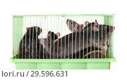 Купить «Domestic rats in a cage», фото № 29596631, снято 12 февраля 2011 г. (c) Argument / Фотобанк Лори