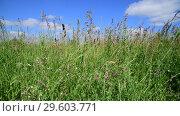 Купить «Beautiful meadow grass against sky by day in Russia. Fragment», видеоролик № 29603771, снято 25 июня 2018 г. (c) Володина Ольга / Фотобанк Лори