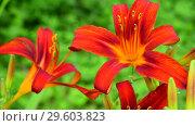 Купить «beautiful bright red day lily», видеоролик № 29603823, снято 21 июля 2018 г. (c) Володина Ольга / Фотобанк Лори