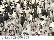 Купить «Emperor Penguin colony with chicks», фото № 29606859, снято 5 ноября 2018 г. (c) Vladimir / Фотобанк Лори