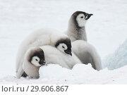 Купить «Emperor Penguins chicks on ice», фото № 29606867, снято 8 ноября 2018 г. (c) Vladimir / Фотобанк Лори