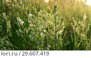 Купить «Meadow grass, thorn plant and Saponaria at sunset», видеоролик № 29607419, снято 28 июня 2018 г. (c) Володина Ольга / Фотобанк Лори