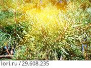 Купить «Pine mountain in the sun closeup», фото № 29608235, снято 4 апреля 2015 г. (c) Сергей Трофименко / Фотобанк Лори