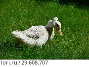 Купить «Хохлатая утка на травке (лат. Lophonetta specularioides)», эксклюзивное фото № 29608707, снято 25 июля 2015 г. (c) lana1501 / Фотобанк Лори