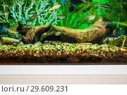 Фрагмент домашнего аквариума с украшением из мангровой коряги, камней и искусственного коралла. Маленькие аквариумные рыбки. Стоковое фото, фотограф Алёшина Оксана / Фотобанк Лори