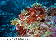 Купить «Colorful red corals seen from side on an overgrown rock, Indian Ocean, Maledives, South Asia.», фото № 29609823, снято 30 марта 2018 г. (c) age Fotostock / Фотобанк Лори
