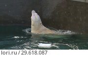 Купить «Polar bear playing in water», видеоролик № 29618087, снято 30 октября 2018 г. (c) Игорь Жоров / Фотобанк Лори
