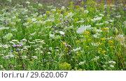 Купить «Wild grass in bloom in summer meadow in Russia», видеоролик № 29620067, снято 16 июля 2017 г. (c) Володина Ольга / Фотобанк Лори