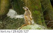 Купить «Meerkat looking out», видеоролик № 29620127, снято 28 ноября 2018 г. (c) Игорь Жоров / Фотобанк Лори