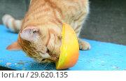 Купить «Red cat eating pumpkin on a bench», видеоролик № 29620135, снято 27 июля 2018 г. (c) Володина Ольга / Фотобанк Лори