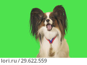 Купить «Beautiful dog Papillon with medal for first place on the neck on green background», фото № 29622559, снято 25 августа 2019 г. (c) Юлия Машкова / Фотобанк Лори