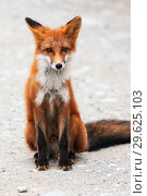 Купить «Портрет красивой дикой рыжей лисицы, смотрящей в объектив фотокамеры», фото № 29625103, снято 17 сентября 2016 г. (c) А. А. Пирагис / Фотобанк Лори