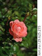 Купить «Роза флорибунда Олдерли Парк (Alderley Park), Fryers Roses», эксклюзивное фото № 29625215, снято 8 сентября 2014 г. (c) lana1501 / Фотобанк Лори