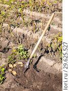 Купить «Freshly dug organic potatoes and shovel in the soil», фото № 29625527, снято 24 августа 2018 г. (c) FotograFF / Фотобанк Лори