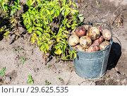 Купить «Freshly dug organic potatoes at the vegetable garden», фото № 29625535, снято 24 августа 2018 г. (c) FotograFF / Фотобанк Лори