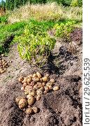 Купить «Freshly dug organic potatoes at the vegetable garden», фото № 29625539, снято 24 августа 2018 г. (c) FotograFF / Фотобанк Лори