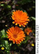 Купить «Ноготки или календула лекарственная (Calendula officinalis)», эксклюзивное фото № 29629727, снято 8 сентября 2014 г. (c) lana1501 / Фотобанк Лори