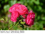 Купить «Роза полиантовая Бордюр Маджента (Bordure Magenta)», эксклюзивное фото № 29632583, снято 14 июля 2015 г. (c) lana1501 / Фотобанк Лори