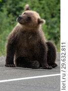 Купить «Медведь вертит головой, отпугивает комаров», фото № 29632811, снято 31 июля 2018 г. (c) А. А. Пирагис / Фотобанк Лори