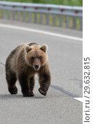 Купить «Медведь идет по дороге», фото № 29632815, снято 31 июля 2018 г. (c) А. А. Пирагис / Фотобанк Лори