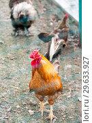 Купить «Rooster on an agricultural farm», фото № 29633927, снято 27 июля 2018 г. (c) Катерина Белякина / Фотобанк Лори