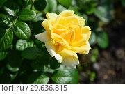 Купить «Роза чайно-гибридная Вандэ Глоб (лат. Vendee Globe), Francois Dorieux II (France, 2000), LAPERRIERE», эксклюзивное фото № 29636815, снято 14 июля 2015 г. (c) lana1501 / Фотобанк Лори