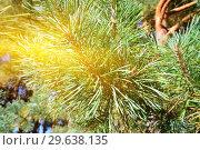 Купить «Beautiful Pine mountain in the sun closeup», фото № 29638135, снято 4 апреля 2015 г. (c) Сергей Трофименко / Фотобанк Лори