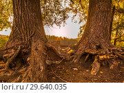Купить «The bizarre plexus of the bare roots of a tree standing on the bank of a river.», фото № 29640035, снято 1 сентября 2018 г. (c) Акиньшин Владимир / Фотобанк Лори