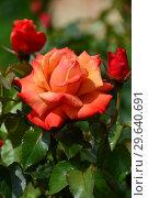 Чайно-гибридная роза Ремембэ Ми (Римембер Ми) (Remember Me), Cocker Великобритания, 1984. Стоковое фото, фотограф lana1501 / Фотобанк Лори
