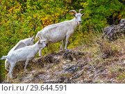 Купить «Herd of domestic white goats on a rocky hill.», фото № 29644591, снято 7 сентября 2018 г. (c) Акиньшин Владимир / Фотобанк Лори