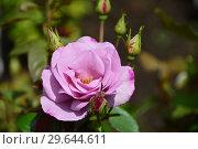 Купить «Роза чайно-гибридная Муди Блю (Moody Blue), Fryers Roses, Великобритания 2008», эксклюзивное фото № 29644611, снято 15 июля 2015 г. (c) lana1501 / Фотобанк Лори
