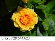 Купить «Роза чайно-гибридная Кип Смайлинг (лат. Keep Smiling), Fryer's Roses, Англия, 2004», эксклюзивное фото № 29644623, снято 15 июля 2015 г. (c) lana1501 / Фотобанк Лори