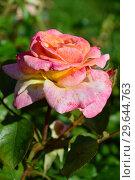 Купить «Роза чайно-гибридная Британия (Britannia), Fryer's Roses, Англия 1998», эксклюзивное фото № 29644763, снято 29 июля 2015 г. (c) lana1501 / Фотобанк Лори