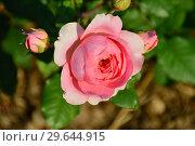 Купить «Роза французская кустовая Амандин Шанель (Amandine Chanel), Massad Франция, 2004», эксклюзивное фото № 29644915, снято 13 июля 2015 г. (c) lana1501 / Фотобанк Лори