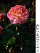 Купить «Роза чайно-гибридная Британия (лат. Britannia), Fryer's Roses, 1998», эксклюзивное фото № 29645079, снято 13 июля 2015 г. (c) lana1501 / Фотобанк Лори