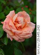 Роза чайно-гибридная Вом Вишес (лат. Warm Wishes), Fryer's Roses, Англия 1994. Стоковое фото, фотограф lana1501 / Фотобанк Лори