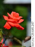 Роза чайно-гибридная Бьюти Стар (лат. Rosa Beauty Star). Fryer's Roses, 1990. Стоковое фото, фотограф lana1501 / Фотобанк Лори