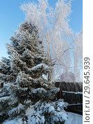 Купить «Пихта на участке зимой», эксклюзивное фото № 29645939, снято 16 декабря 2018 г. (c) Анатолий Матвейчук / Фотобанк Лори