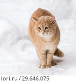Pets. A red cat in the winter outside in the snowfall sits among the snowdrifts in snowy weather. Стоковое фото, фотограф Светлана Евграфова / Фотобанк Лори