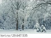 Купить «Tall trees in the snow magical beautiful forest after a snowfall on a winter day», фото № 29647535, снято 4 февраля 2018 г. (c) Константин Лабунский / Фотобанк Лори